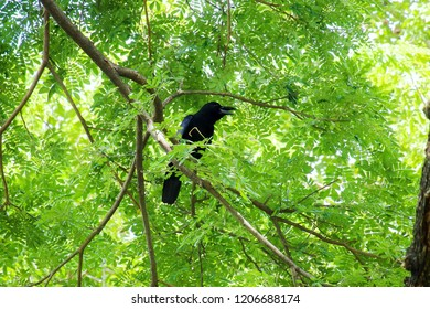 Crow bird (Corvus macrorhynchos) standing on the branches of the Big rain tree (Samanea saman) looking for victims with sunlight. View from below.