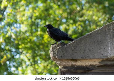 Crow bird perching on a grave in a cemetery (Père-Lachaise, Paris, France) with blurry trees on background