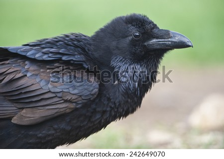 Crow. Black crow portrait isolated on natural green.