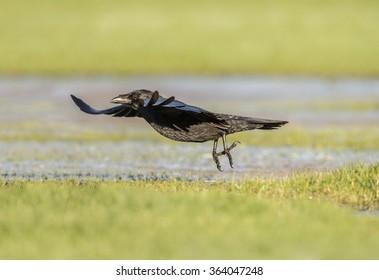 Crow, Corvus corone, flying over frosty ground