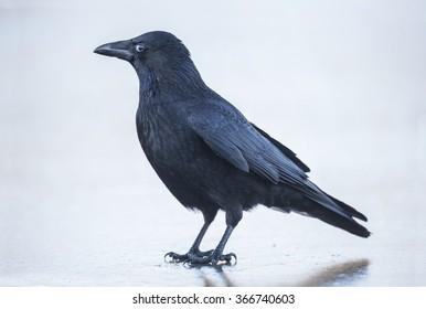 Crow, Corvus corone, on the ice