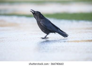 Crow, Corvus corone, on the ice, squawking
