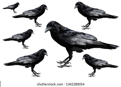 Crow. Crows isolated on white. Seven crows of different sizes isolated on white.