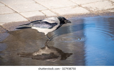 Crow drinks water from a puddle on a sunny day