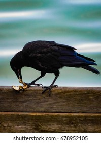 Crow eating a crab on Vashon Island in the Puget Sound near Tacoma and Seattle