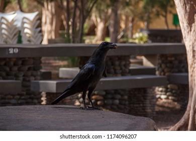Crow eating in park, La Aldea, Gran Canaria.