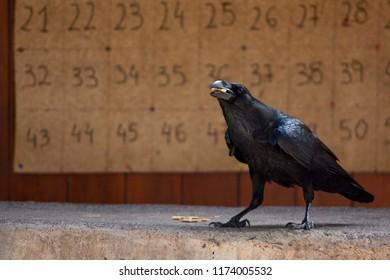 A crow eats cookies in a park in La Aldea, Gran Canaria.