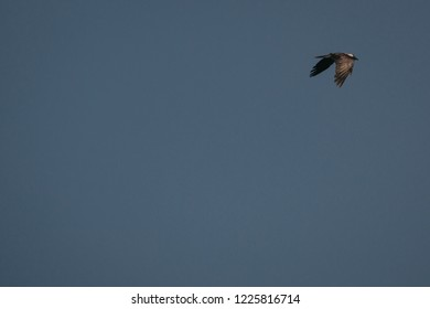crow flaying in sunny day