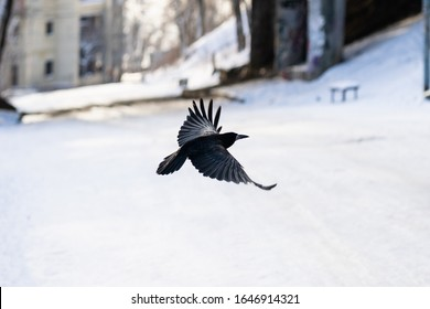Crow flies low above the ground in winter