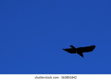Crow In Flight Against a Blue Sky