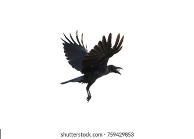 Crow fly on white background