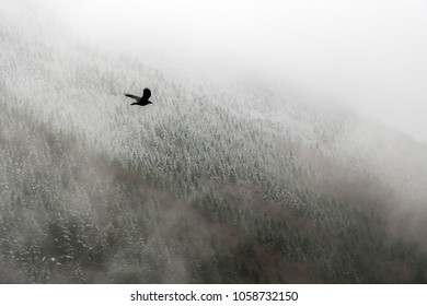 A crow flying against the background of heavy clouds and snow covered trees.