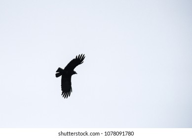 Crow flying in the sky.