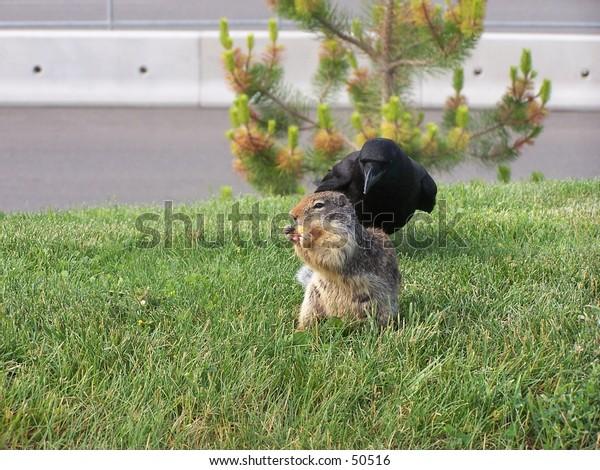 crow and groundhog