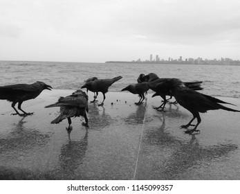 Crow group on sea side, Marine Drive, Mumbai, Maharashtra birds discussing, birds meeting