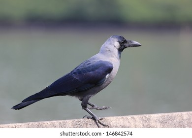 Crow in India