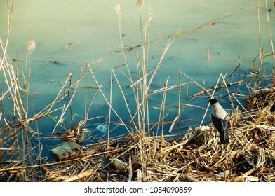 crow at the lake