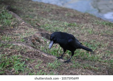 Crow is a large perching bird with black plumage, a heavy bill and a raucous voice.