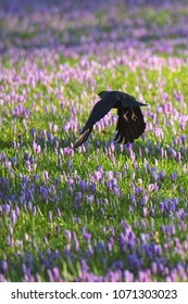 A crow is lifting of and flattering over grassland covered with purple crocuses