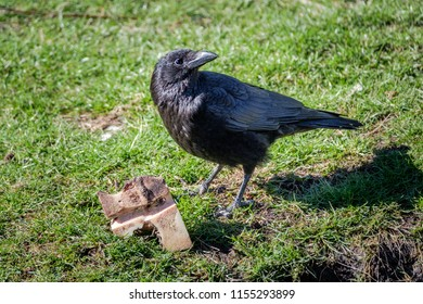 Crow looks around and guards his booty. The crow has found a piece of bone.
