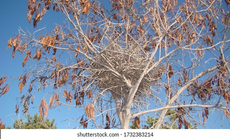 Crow. Nest crow on the tree, Eurasian Magpie. Nest of crows in the yard. Bare tree branches on a spring day. Nestling of the crow. Crow's nest in a tree. Guide of bird nests, wild birds, wild nature