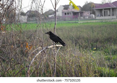 Crow on the branch