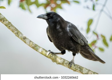 Crow on Branch of American Holly Tree