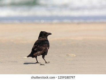 Crow on the coast