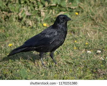 Crow on a meadow in Quéven, South Brittany, 10. März 2017