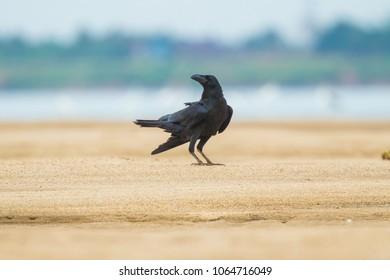 Crow on the sand beach.