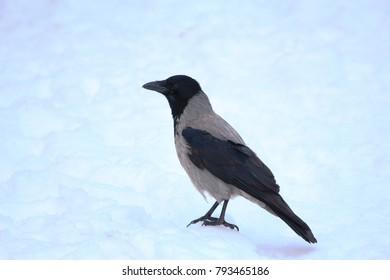 crow on white snow
