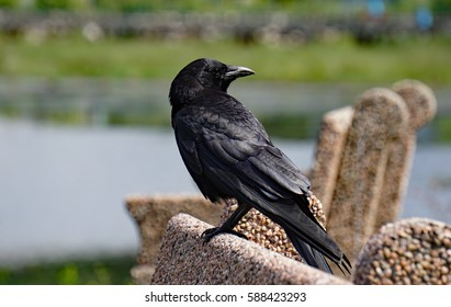 Crow perched on a Bench