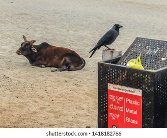 A crow picks at rubbish in a bin placed near to the entrance to the Main beach at Gokarna,as a cow lays nearby on the sand.