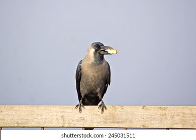 Crow with the piece of bread in Vrindavan
