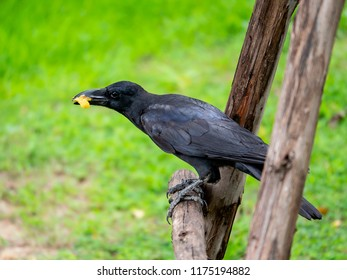 Crow Raven / Black bird eating food on wooden branch with green bokeh background in the garden