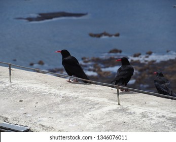 crow with red lip, the red-billed chough (pyrrhocorax pyrrhocorax)