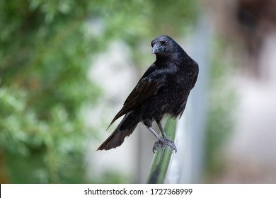 Crow resting on a balustrade
