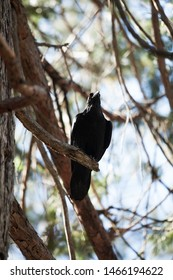 A crow resting on the old trees_Yosemite