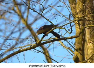A crow is ripping of a twig for nesting materials