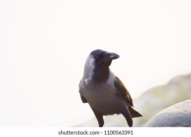 Crow searching for food.