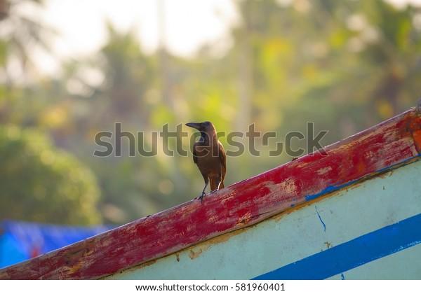 Crow sitting on fisferman boan on Varkala beach, Kerala, India.