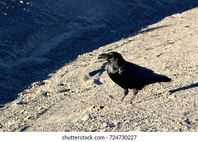 A crow sitting on the ground of death valley, looking at the desert ahead.