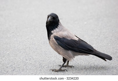 Crow sitting on the ground looking towards photographer