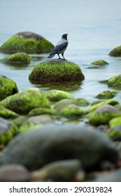 Crow sitting on the rock overgrown with seaweed