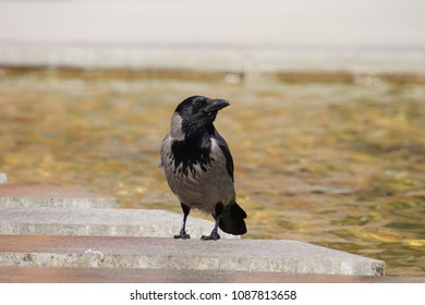 crow sitting  at water
