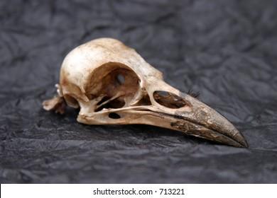 Crow Skull on black tissue paper