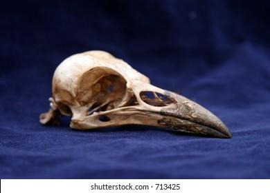 crow skull on blue velvet