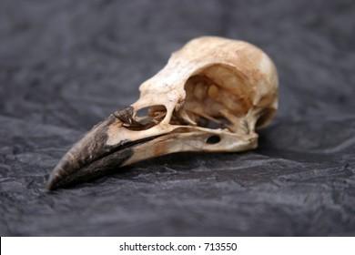 Crow Skull on crumpled black tissue paper