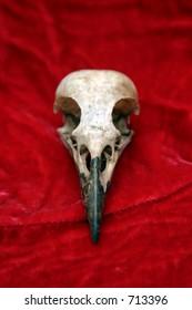 crow skull on red velvet