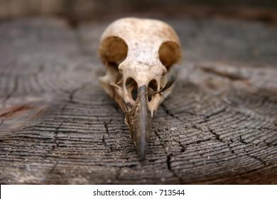 Crow Skull on a wooden stump